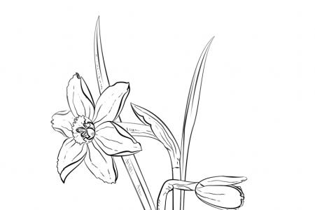 水仙花怎么画