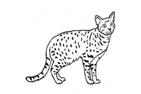 猫咪图片 简笔画奥西猫