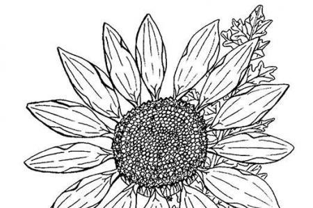 唯美向日葵简笔画铅笔素描
