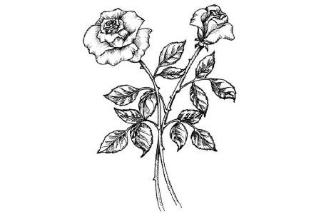 手绘漂亮玫瑰花简笔画图片