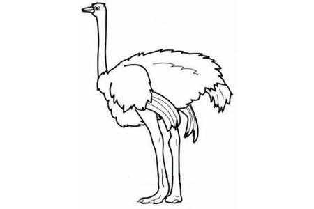 关于鸵鸟的简笔画