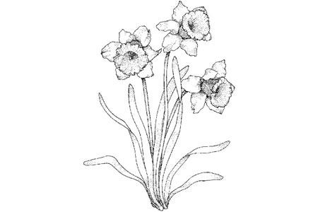 水仙花的画法