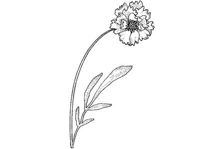 漂亮的康乃馨怎么画