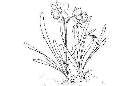 怎么画水仙花
