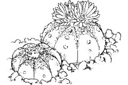 大的仙人球简笔画