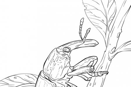 黄色象鼻虫