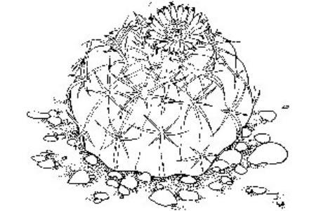仙人球开花