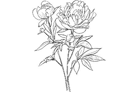 漂亮的牡丹花