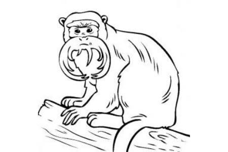 动物简笔画 皇帝绢毛猴简笔画图片