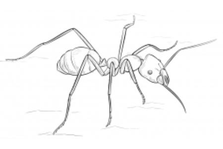 食肉蚂蚁简笔画