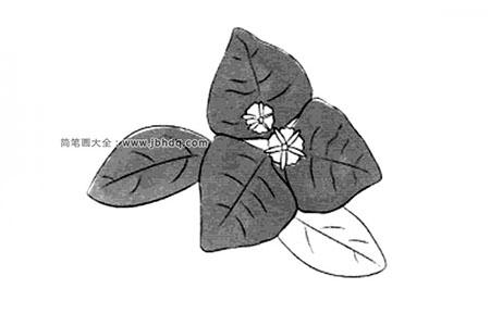 冬天的花朵 三角花