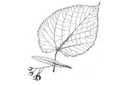 菩提树的叶子