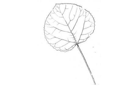 白杨树树叶怎么画