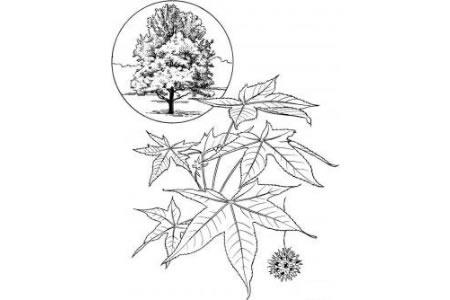 胶树树叶的画法