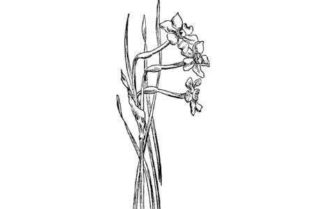 漂亮的水仙花