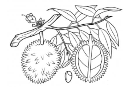 树上的榴莲