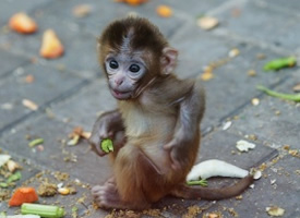 精靈可愛的猴子圖片