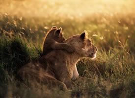 森林之王狮子图片