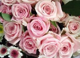 少女心粉色玫瑰花圖片