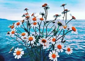 以蓝色海洋为背景的小雏菊显得格外美丽