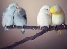 可爱炸了的相互依偎的小鹦鹉