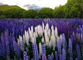 天空下呈现出妖娆紫色的薰衣草