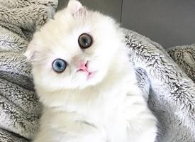 一套异瞳纯白色呆萌小猫九张图片欣赏
