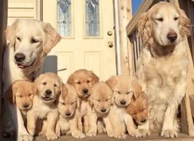 七只小金毛和父母 和谐一家图片
