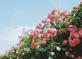 超唯美向天空绽放花朵背景壁纸