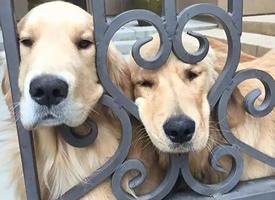 两只金毛渴望出去玩耍的小眼神图片