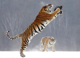威武的老虎捕捉猎物的图片