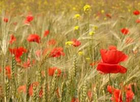 便面如春花,定是能感動人的 罌粟花圖片欣賞