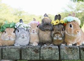 带花环的兔兔排排坐 超级萌