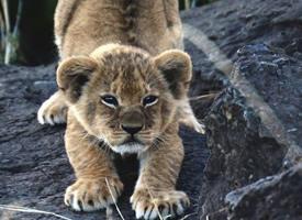 调皮可爱的小幼狮图片欣赏