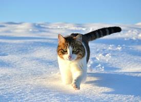 雪地里行走的喵星人,好美,好霸气