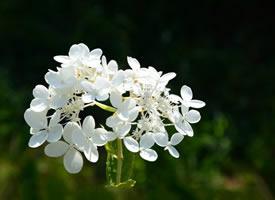 干净纯白的丁香花图片欣赏