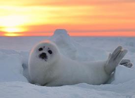 雪地里超萌的格陵兰小海豹图片