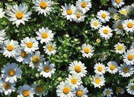雏菊的花语——天真、和平、希望、纯洁的美以及深藏在心底的爱
