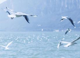 藍色大海上自由飛翔的海鷗圖片欣賞