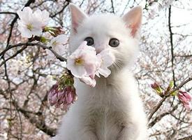 树上的喵星人,和樱花一样美丽