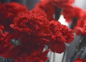 红色高贵康乃馨壁纸图片欣赏