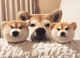 超级无限卖萌的柴犬图片