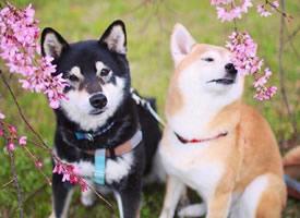 花丛中两只甜蜜谈恋爱的柴犬图片
