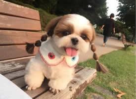 一套梳着小辫子的可爱狗狗图片
