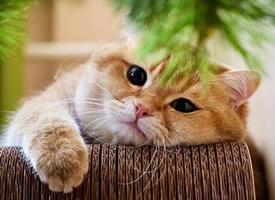 一只圆脸圆眼睛的萌萌哒猫猫
