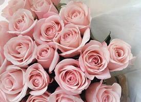 像一个穿着粉红色衣裙的少女的玫瑰可爱中又带着羞涩