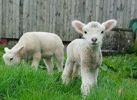 一组可爱治愈的羊崽图片欣赏