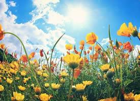 一組藍天白云下盛情綻放的罌粟花圖集