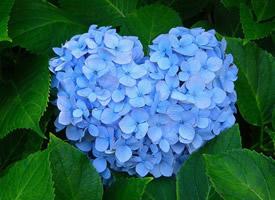 一组绿叶衬托出美美的纯蓝色绣球花图片欣赏