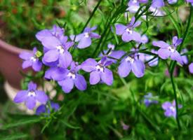 一组超唯美颜色艳丽的六倍利花朵图片